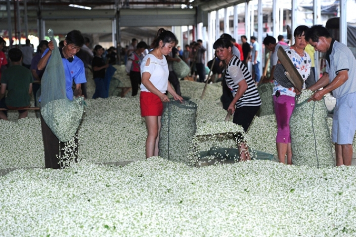 Le plus grand marché de Jasmin en Chine